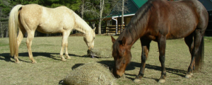 Horses-with-hay-nets_feature
